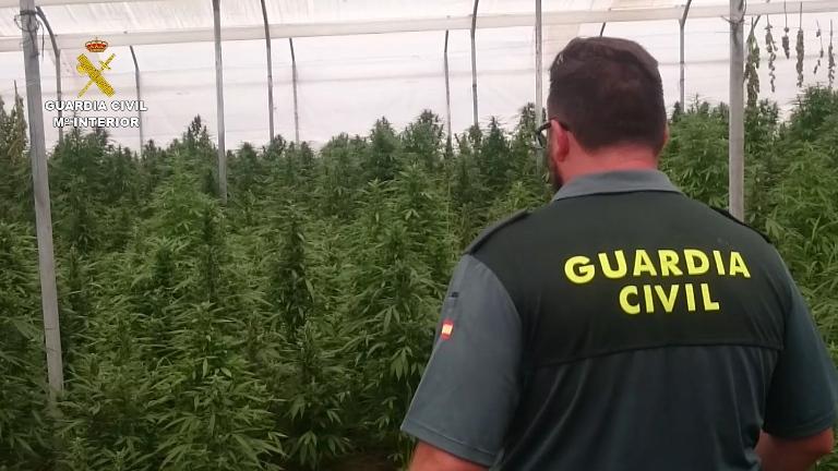 La Guardia Civil interviene 20.000 plantas de marihuana ocultas en dos invernaderos de una finca de Sevilla