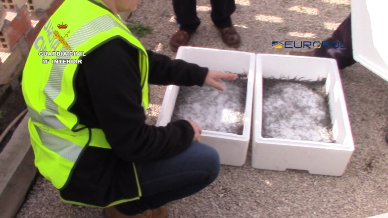 Dismantlement of an international organization devoted to the illegal trade in elvers/ baby eels