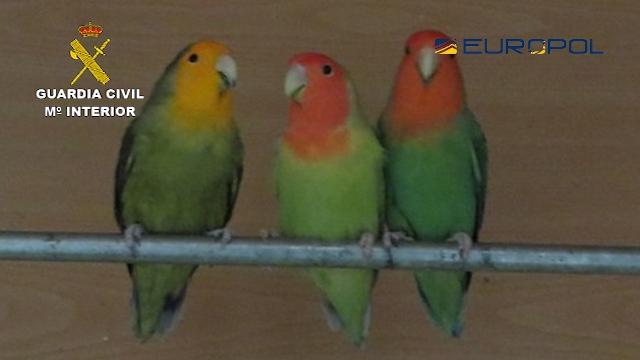 Detenidas 29 personas pertenecientes a una organización internacional dedicada al comercio ilegal de especies de aves