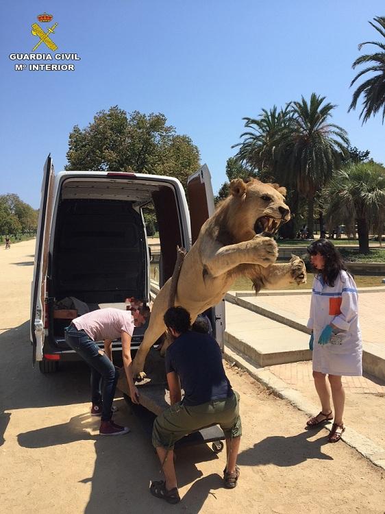 La Guardia Civil recupera un ejemplar de león africano disecado puesto a la venta en Internet