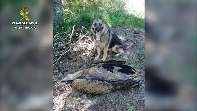 La Guardia Civil investiga a 28 personas por el uso ilegal de cebos envenenados durante el año pasado