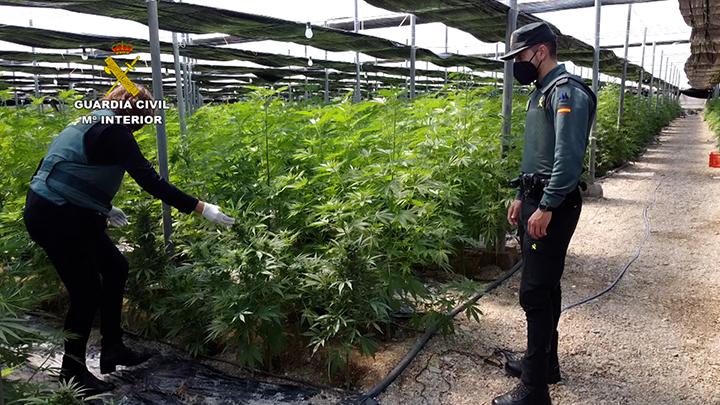 La Guardia Civil interviene 64.800 plantas de cannabis en cinco plantaciones de cáñamo en Almería