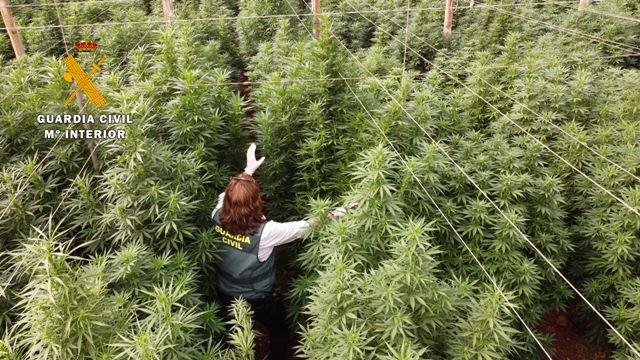 """La Guardia Civil interviene 125.000 plantas de """"cannabis"""" en ocho plantaciones de cáñamo"""