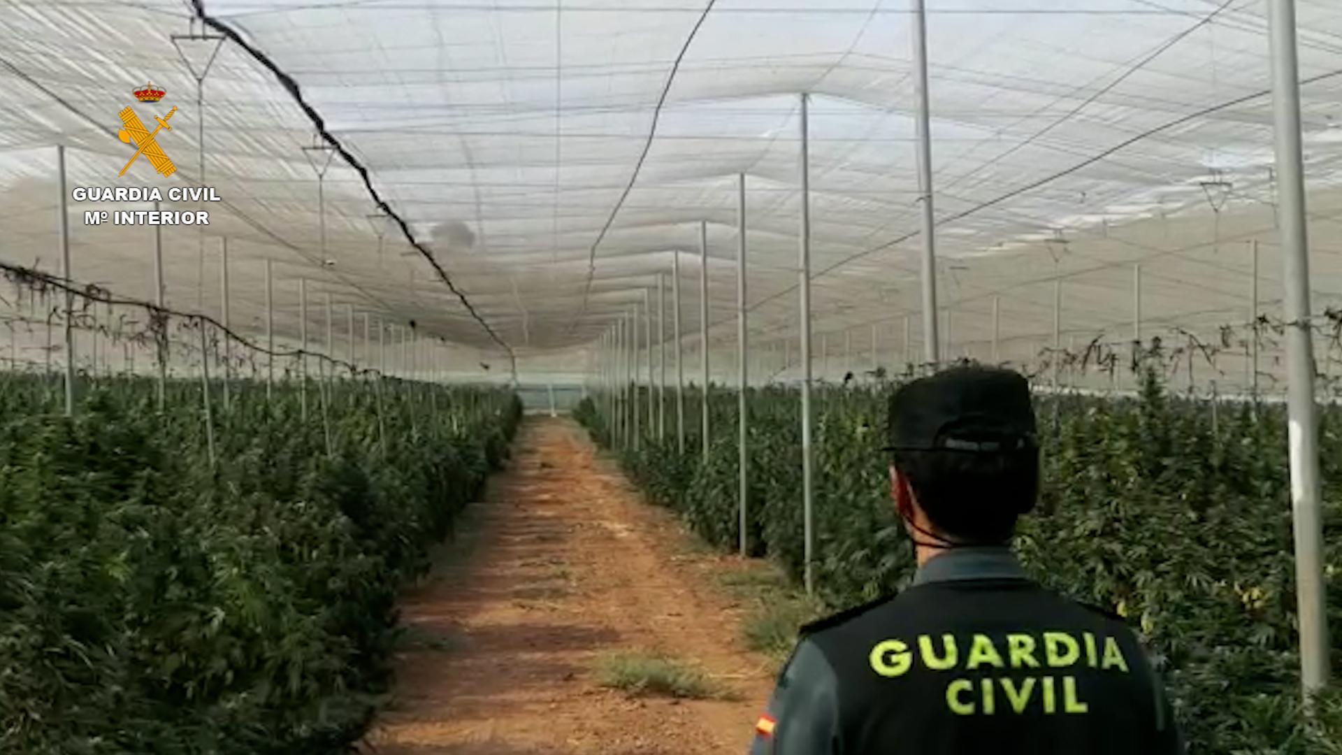 La Guardia Civil incauta la mayor plantación de marihuana descubierta en la provincia de Granada