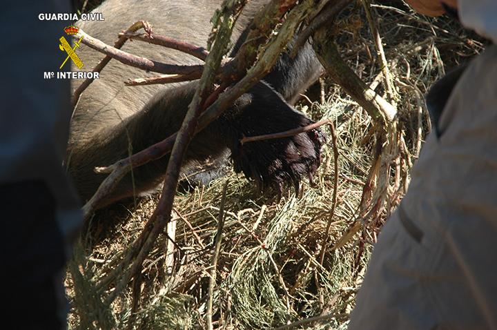 Detenidas 2 personas responsables de la muerte de un oso pardo en Asturias